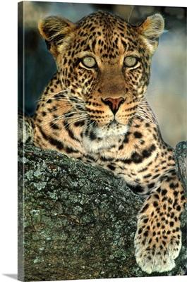 Leopardess Tanzania Africa