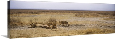 Lions resting in a forest, Ngorongoro Crater, Ngorongoro Conservation Area, Tanzania