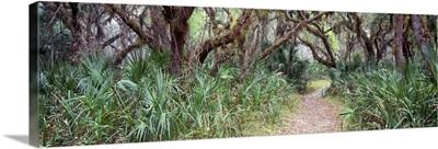 Live oak trees Quercus virginiana and Spanish Moss Tillandsia usneoides Sleeping Turtle Preserve Venice Florida