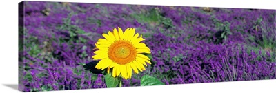 Lone Sunflower in Lavender Field France