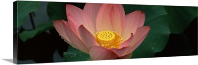 Lotus blooming in a pond