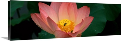 Lotus with bees in a pond