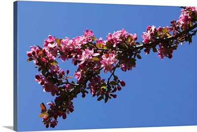 Low angle view flowering tree branch, blue sky, North Carolina