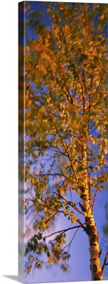 Low angle view of a birch tree, Joutseno, Southern Finland, South Karelia, Finland