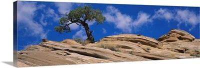 Low angle view of a pinyon pine tree on a rock, Grand Staircase-Escalante National Monument, Utah, (Pinus edulis)
