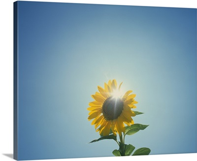 Low angle view of a Sunflower (Helianthus annuus)