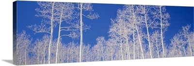 Low angle view of American aspen trees in the forest, Utah, (Populus tremuloides)