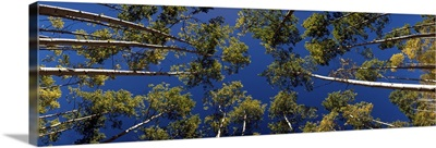 Low angle view of Aspen trees, Aspen, Pitkin County, Colorado