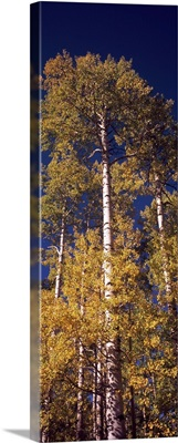 Low angle view of aspen trees in autumn, Colorado
