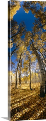Low angle view of Aspen trees in the forest, Alpine Loop, Colorado