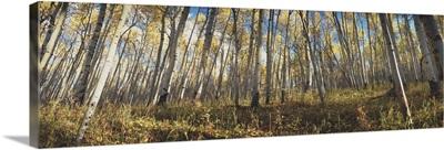Low angle view of aspen trees, Uncompahque National Park, Colorado