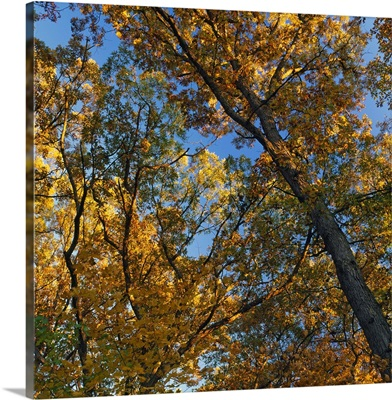 Low angle view of autumn color tree canopy, Palisades-Kepler State Park, Iowa