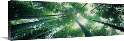 Low angle view of bamboo trees in a forest Sagano Kyoto City Kyoto Prefecture Honshu Kinki Region Japan
