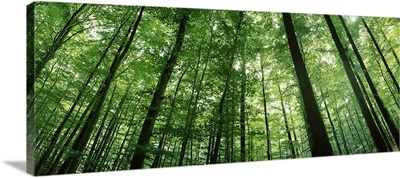 Low angle view of beech trees, Baden Wurttemberg, Germany