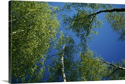 Low-angle view of birch tree canopy, blue sky, spring.