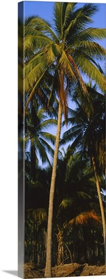 Low angle view of coconut palm trees, Colima, Mexico