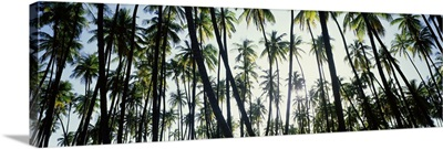 Low angle view of coconut palm trees in a forest, Molokai, Hawaii
