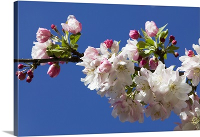 Low angle view of crabapple flowers (Malus sylvestris) in bloom, blue sky, North Carolina