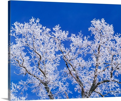 Low angle view of hoarfrost on oak tree branches, blue sky, Iowa