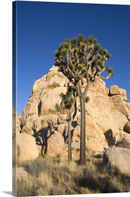 Low-Angle View Of Joshua Tree In Front Of Cliff