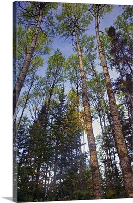 Low angle view of mixed hardwood forest, Minnesota