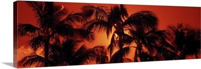 Low angle view of palm trees at dusk, Kalapaki Beach, Kauai, Hawaii
