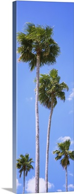 Low angle view of palm trees, Florida