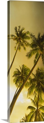 Low angle view of palm trees, French Polynesia
