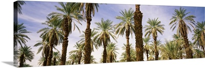 Low angle view of palm trees, Furnace Creek, Death Valley, Death Valley National Park, California,
