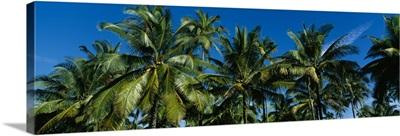 Low angle view of palm trees, Kauai, Hawaii