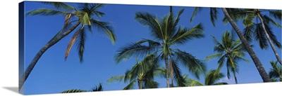Low angle view of palm trees, Kona Coast, Big Island, Hawaii
