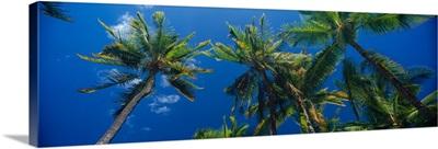 Low angle view of palm trees Maui Hawaii