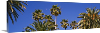 Low angle view of palm trees, Santa Monica, Los Angeles County, California