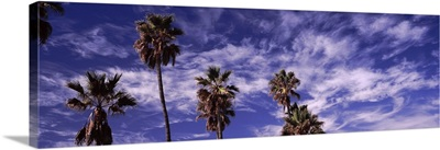 Low angle view of palm trees, Southern California, California