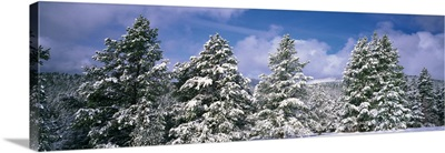 Low angle view of ponderosa pine trees covered with snow, Helena National Forest, Montana