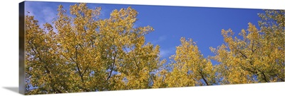 Low angle view of poplar trees in a forest, Minnesota