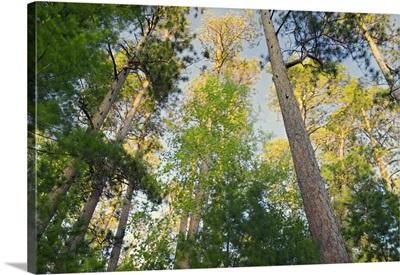 Low angle view of red pine trees growing along Lake Itaska, Itaska State Park, Minnesota