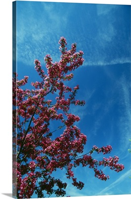 Low angle view of red prairie crabapple flowers (Malus ioensis) blooming on branch, blue sky, New York