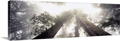 Low angle view of Redwood trees in a forest, Redwood National Forest, California