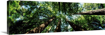 Low angle view of Sequoia trees (Sequoia sempervirens), Muir Woods National Monument, Marin County, California,