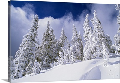 Low-Angle View Of Snow-Covered Pine Trees