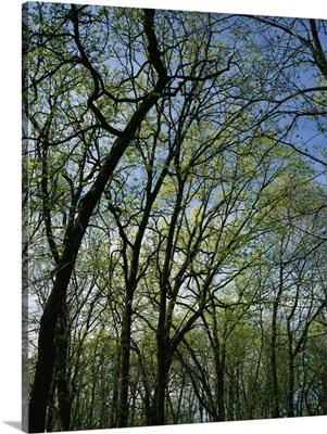 Low angle view of spring trees, Pilot Knob State Park, Iowa