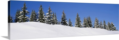 Low angle view of Spruce trees, San Juan Mountains, Colorado