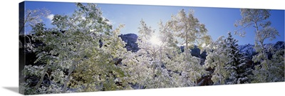 Low angle view of trees covered with snow, Maroon Bells, Aspen, Colorado