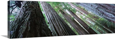 Low angle view of trees in a forest, Redwood National Park, California