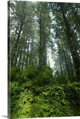 Low angle view of trees in mist, Cascade Head, Oregon