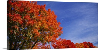 Low angle view of trees with red leaves, Rocklin, Placer County, California