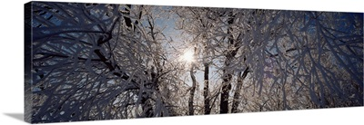 Low angle view of willow trees covered with snow, Lewis and Clark County, Montana