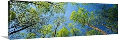 Low angle view of yellow poplar trees, Great Smoky Mountains National Park, Tennessee,