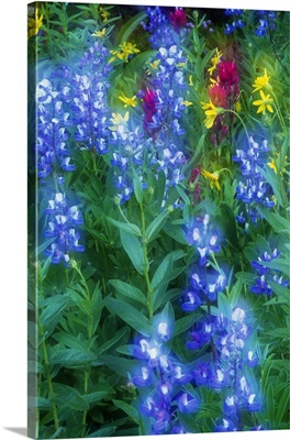 Lupine and wildflowers in bloom, soft focus, Mount Rainier National Park, Washington